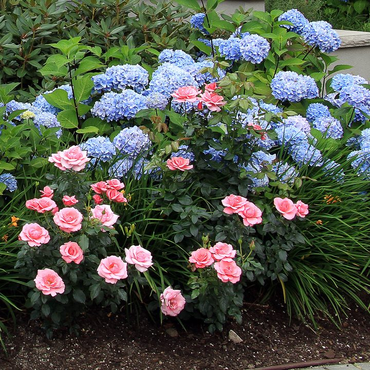 roses and hydrangeas plant combination