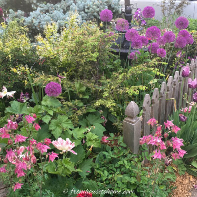 columbines and alliums blooming in a spring garden with a picket fence