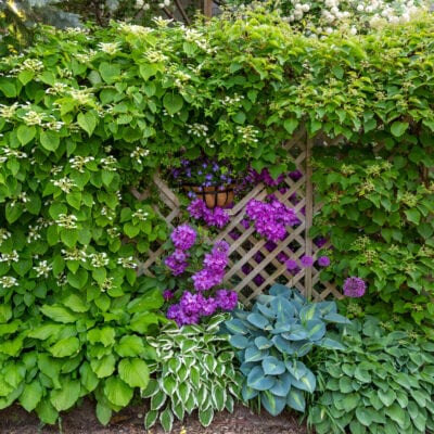 spring shade garden with Hostas and rhododendrons