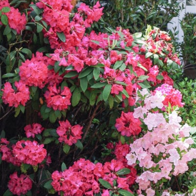 Rhododendron shade plants