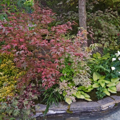 shade garden with japanese maples